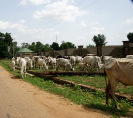 Cattle along the road to Jos